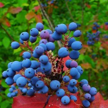 Mahonia faux-houx - Fruits