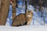 Chat sylvestre
