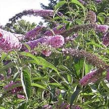 Arbre aux papillons - Arbre en fleur