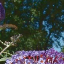 Arbre aux papillons - Fleur