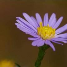 Aster de Virginie - Détail d'une fleur