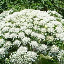 Berce du Caucase - Fleur