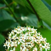 Cornouiller soyeux - Inflorescence
