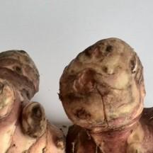 Topinambour - Détail d'un tubercule