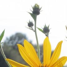 Topinambour - Détail d'une fleur