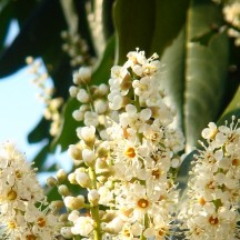 Laurier-cerise - Fleurs