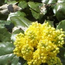 Mahonia faux-houx - Fleurs