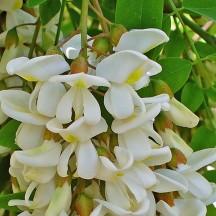Robinier faux-acacia - Fleurs