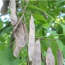 Robinier faux-acacia - Gousses