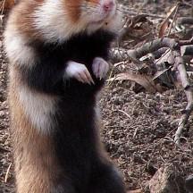 Grand Hamster d'Europe