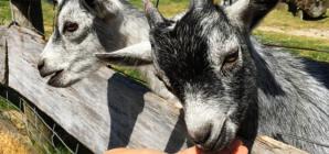Formation : Se diversifier vers ou créer un élevage ovin et/ou caprin