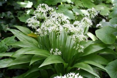 L'ail des ours (Allium ursinum)