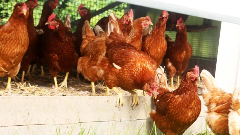 Communiqué de presse du Collège provincial: un abattoir à volailles en province de Liège