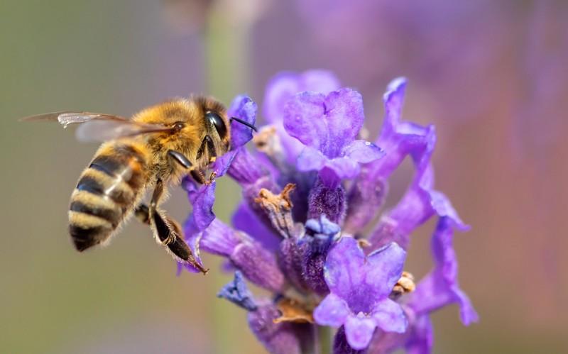 Quels sont les rôles de l'abeille ?